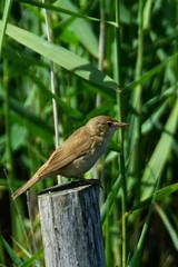 DSC06176 - Reed Warbler (steve R J) Tags: reed warbler fingringhoe wick ewt reserve colchester essex birds british