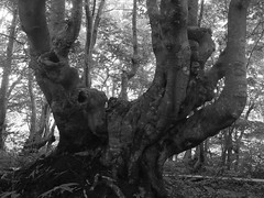 the unique trunk (murozo) Tags: tree trunk beech forest monochrome shishigabana marshland nikaho akita japan summer nakajimadai 木 幹 ブナ 森 獅子ヶ鼻湿原 にかほ 中島台 夏 秋田 日本