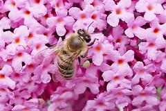 A honey bee collecting nectar and white pollen on Butterfly flowers. (Bienenwabe) Tags: bee honeybee apis apismellilfera apiaceae buddlejaalternifolia buddleja scrophulariaceae sommerflieder biene honigbiene insect macro pollen whitepollen