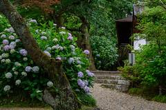 矢田寺15・Yatadera Temple (anglo10) Tags: japan 奈良県 郡山 矢田寺 寺院 temple アジサイ flower