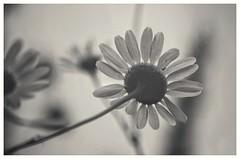 ... (***étoile filante***) Tags: kamille chamomile flowers blumen nature natur bokeh bokehlicious blackwhite schwarzweiss monochrome bw sw blackandwhite pentaxk30 closeup nahaufnahme