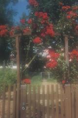 Portal floral (alf sigaro) Tags: agfa agfaoptima agfaoptimasensor agfaoptimasensorelectronic rosen badenwürttemberg