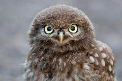 Close Enough!? (irelaia) Tags: close enough little owl owlet wild bird nearly too canon 500mm