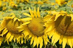 Sous un soleil accablant (Croc'odile67) Tags: nikon d3300 sigma contemporary 18200dcoshsmc flowers fleurs tournesol sunflower girasole nature