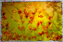 We float (Ans van de Sluis) Tags: 2019 ansvandesluis maaswaalkanaal oostkanaaldijk blossom bokehlicious botanic bud colours flora floral flower leaf leaves macro nature spring sunset float goldfish fish magnolia umbrellatree creative art fineart abstracted abstract dreamy
