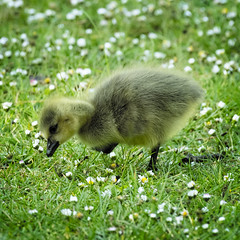 The Gosling (MrBlueSky*) Tags: gosling goose canadagoose bird animal nature wildlife colour outdoor grass flower kewgardens royalbotanicgardens london pentax pentaxart pentaxlife pentaxawards pentaxflickraward pentaxk1mkii aficionados