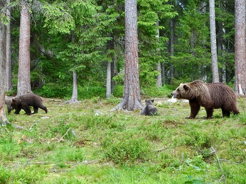 Brown bear mom with cubs