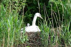 Mother Swan (spencerdavid25) Tags: swans birds reeds mother nest