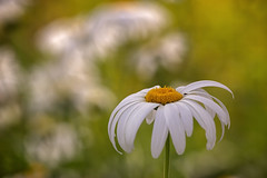 Daisy (JLM62380) Tags: nature mouche fly fleur daisy flower astéracées leucanthemum marguerite