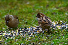 Girls Out - Females Chaffinch and Reed Bunting (JerryGoulet) Tags: reedbunting female chaffinch colors birds wild outside tree green foliage highiso animals d500 sigma infinitexposure uk cambridgeshire lights dark conservancy exposure england angle wildnerness nature light lowlight midlands contemporary young male spring outdoors wildlife individuality portraits volunteer zoom telephoto summer conservationism naturereserve bird color animal face feathers sigma150600 colour lowangle experience faces juvenile colours out water pond pool unitedkingdom paxtonpitsnaturereserve excellence xtreme closeup contrast cute conservation beak eye british greatbritain lake nikon natural brandonmarch