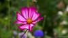 Mexican Aster (Cosmea) Cosmos bipinnatus (BraCom (Bram)) Tags: 169 bracom bramvanbroekhoven cosmosbipinnatus depthoffield dof goereeoverflakkee holland nederland netherlands southholland zuidholland akkerrand bloem bokeh border cornflower cosmea flower korenbloem macro petals stampers summer widescreen zomer