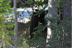 wilde black bear (dan487175) Tags: bear black blacknose tamron tree trees usa america ursus ursinae urso intrested orso outdoors park animal adorable dayout daytrip day fur green holiday head happy bjørn kuma looking leaves muzzle exploring cute colour nikon mammal female ears 2019 wilde treebranch snow coldday sow nature wildlife