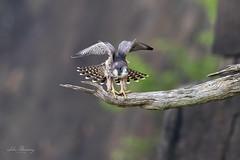 Peregrine Falcon (johnbacaring) Tags: falcon peregrine peregrinefalcon raptor birdofprey bird birds birding new jersey wildlife nature canon juvenile