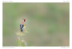 Le chardonneret | European Goldfinch (BerColly) Tags: france auvergne puydedôme mezel oiseau bird chardonneret goldfinch portrait bokeh bercolly google flickr