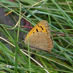Small copper (LPJC (away for August)) Tags: flamboroughhead yorkshire uk 2019 lpjc smallcopper butterfly