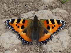Small tortoiseshell (LPJC (away for August)) Tags: flamboroughhead yorkshire uk 2019 lpjc smalltortoiseshell butterfly