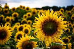 sunflower (carsten.plagge) Tags: 2019 30mm cp55 carstenplagge lumix macro quedlinburg sommer sonne sonnenblumen sonnenblumenfeld