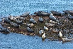 Seals at Flamborough Head (LPJC (away for August)) Tags: flamboroughhead yorkshire uk 2019 lpjc greyseal