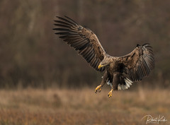 Watch out, here I come! (Jambo53 ()) Tags: crobertkok whitetailedeagle nikond800 11250 iso400 500mmf4 poland
