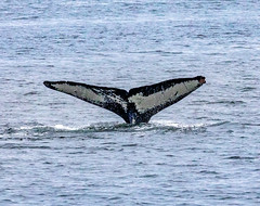 Whale Fluke (humpback whale) - Whale watching at Juneau, Alaska. USA. (3.3 mil views - Thank you all.) Tags: alaska unitedstatesofamerica whale staneastwood stanleyeastwood sea ocean pacific boat seal animal mammal fluke seascape