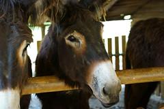 Poitou-Esel (PictureBotanica) Tags: tiere säugetiere haustiere nutztiere esel hausesel essehof equus