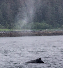 Another whale breath. Whale watching off Auke Bay Harbour, near Juneau, Alaska. USA. (3.3 mil views - Thank you all.) Tags: alaska unitedstatesofamerica whale staneastwood stanleyeastwood sea ocean pacific boat seal animal mammal fluke seascape