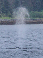 Caught the nose blow - lost the whale. Whale watching off Auke Bay Harbour, near Juneau, Alaska. USA. (3.3 mil views - Thank you all.) Tags: alaska unitedstatesofamerica whale staneastwood stanleyeastwood sea ocean pacific boat seal animal mammal fluke seascape