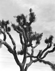 Joshua Tree 1 (Lennart Arendes) Tags: film analog kodak trix 400 black white medium format 120 zenza bronica etrs joshua tree national park landscape plants rock day sun sky clouds