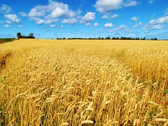 Wheat Fields, Prince Edward Island, Canada. (Robert C. Abraham) Tags: canada farm wheat wheatfields pei princeedwardisland maritimes atlanticcanada sky bluesky blueskies summer summertime farming atlanticcanadianfarming fields golden rural island acres agriculture farmland summerskies color colour goldenwheat breezy windy summerbreezes summerwind peilandscape princeedwardislandlandscape canadianlandscape landscape maritimelandscape growing fieldsofgoldenwheat blue gold rurallife farmlife clouds september sunshine freshair