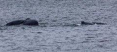 Mother whale (left) with calf (right) - Whale watching at Juneau, Alaska. USA. (3.3 mil views - Thank you all.) Tags: alaska unitedstatesofamerica whale staneastwood stanleyeastwood sea ocean pacific boat seal animal mammal fluke seascape