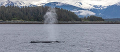 Whale breathing (humpback whale) - Whale watching at Juneau, Alaska. USA. (3.3 mil views - Thank you all.) Tags: alaska unitedstatesofamerica whale staneastwood stanleyeastwood sea ocean pacific boat seal animal mammal fluke seascape