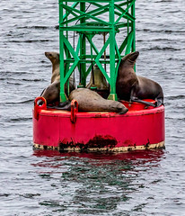 Bookends! - Seals taking a rest on a buoy  - Whale watching off Auke Bay Harbour, near Juneau, Alaska. USA. (3.3 mil views - Thank you all.) Tags: alaska unitedstatesofamerica whale staneastwood stanleyeastwood sea ocean pacific boat seal animal mammal fluke seascape