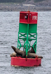 Seals taking a rest on a buoy  - Whale watching off Auke Bay Harbour, near Juneau, Alaska. USA. (3.3 mil views - Thank you all.) Tags: alaska unitedstatesofamerica whale staneastwood stanleyeastwood sea ocean pacific boat seal animal mammal fluke seascape