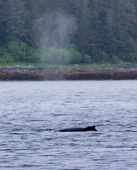 There she blows! - Whale watching off Auke Bay Harbour, near Juneau, Alaska. USA. (3.3 mil views - Thank you all.) Tags: alaska unitedstatesofamerica whale staneastwood stanleyeastwood sea ocean pacific boat seal animal mammal fluke seascape