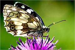 Schachbrettfalter (robert.pechmann) Tags: schachbrettfalter schmetterling insekt macro makro robert pechmann melangariagalathea butterfly