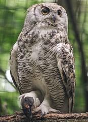 ©Virginia-Uhu (Nikonfan-Fotografie) Tags: tierpark berlin tierparkberlin friedrichsfelde lichtenberg deutschland germany vögel greifvögel eulen uhus