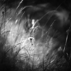 Come forth into the light of things (Mark Rowell) Tags: hasselblad 2000fc petzvar 120mm fuji acros 6x6 120 mediumformat sunshine williamwordsworth bigil film bw blackandwhite dof petzval