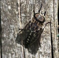 Tabanidae (Phil Arachno) Tags: france aquitanien arthropoda insecta diptera tabanidae