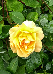 IMG_20190719_065510825 (EadaoinFlynn) Tags: germany niedersachsen braunschweig flower flowers plant rose roses yellow