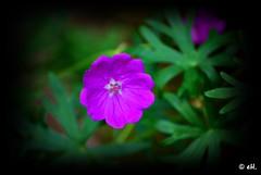 Bloody Crane's Bill (Els Herten) Tags: geranium bloodycranesbill flower purple green plant bokeh