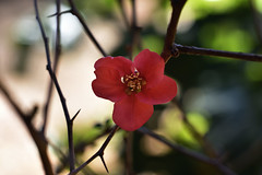 Japanese quince one - A Winter Garden Fantasy pt1. (roanfourie) Tags: nikon d3400 dx helios 442 258 f2 winter july 2019 nature fantasy flowers flower plants trees