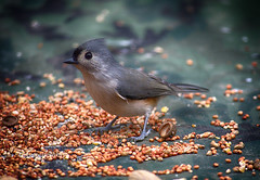 Tufted Titmouse (Photographybyjw) Tags: tufted titmouse enjoying bird seed this outdoor shot north carolina ©photographybyjw rural country weathered wood