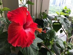 Good morning friends (Trinimusic2008 -blessings) Tags: green red stamen petals july2019 summer grateful canada ontario toronto viewfrommycondo indoors plant flower hibiscus judymeikle trinimusic2008