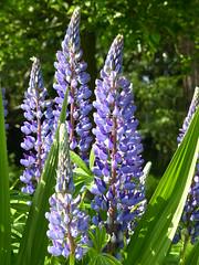 Lupins (Marit Buelens) Tags: flower plant leaf lupin blue montbretialeaf green garden
