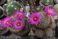 Mammillaria guelzowina Blüten (Bernd Götz) Tags: kaktus mammillariaguelzowina blüten
