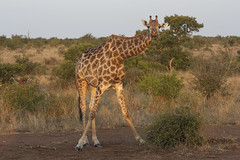 IMG_4744 (Walt vd Hoeven) Tags: safari south africa afrika mpumalanga kruger manyeleti big five bigfive pungwe bush leopard zebra elephant lion bok buffalo