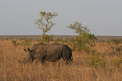 IMG_4712 (Walt vd Hoeven) Tags: safari south africa afrika mpumalanga kruger manyeleti big five bigfive pungwe bush leopard zebra elephant lion bok buffalo