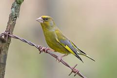 Greenfinch (drbut) Tags: greenfinch carduelischloris finches bird birds avian farmland countryside wildlife nature