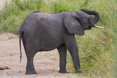 IMG_4605 (Walt vd Hoeven) Tags: safari south africa afrika mpumalanga kruger manyeleti big five bigfive pungwe bush leopard zebra elephant lion bok buffalo