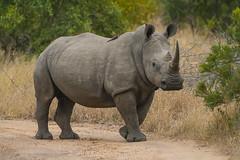 IMG_4515 (Walt vd Hoeven) Tags: safari south africa afrika mpumalanga kruger manyeleti big five bigfive pungwe bush leopard zebra elephant lion bok buffalo